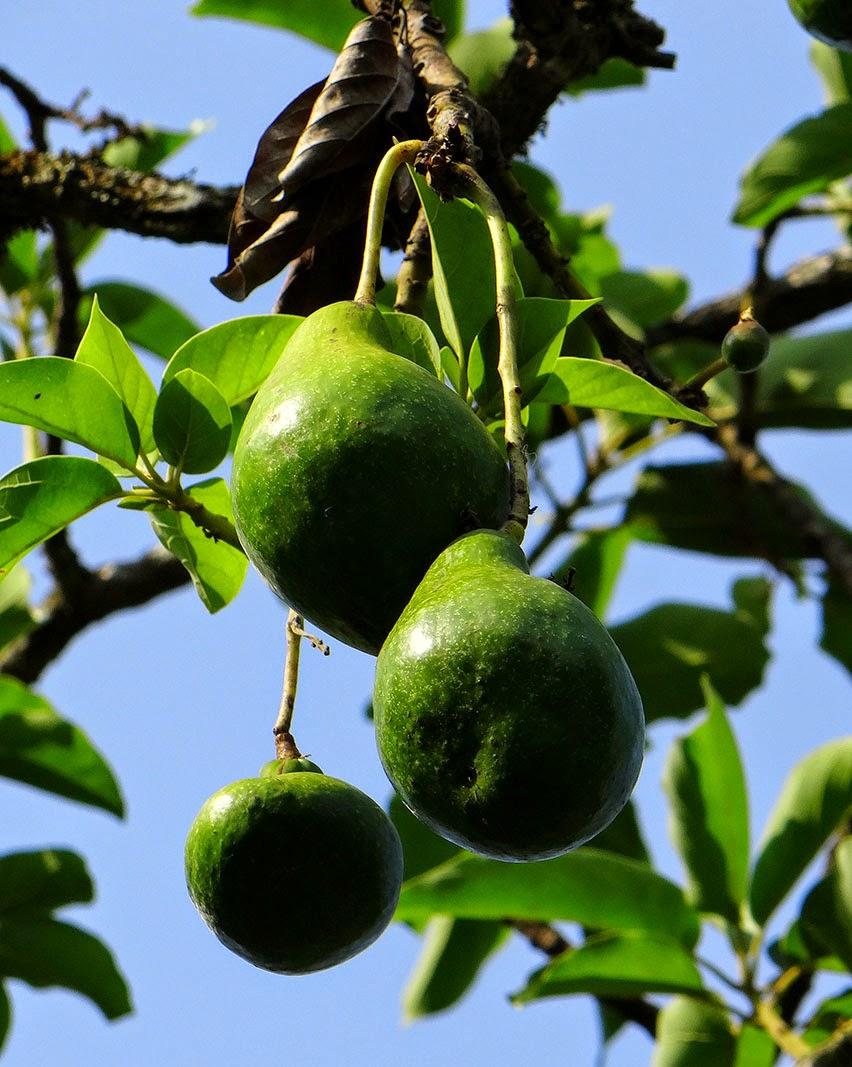 http://indonesian-herbal-medicine.blogspot.com/2014/11/avocados-for-curing-disease.html