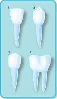Gambar Jenis Gigi Manusia dan Fungsinya