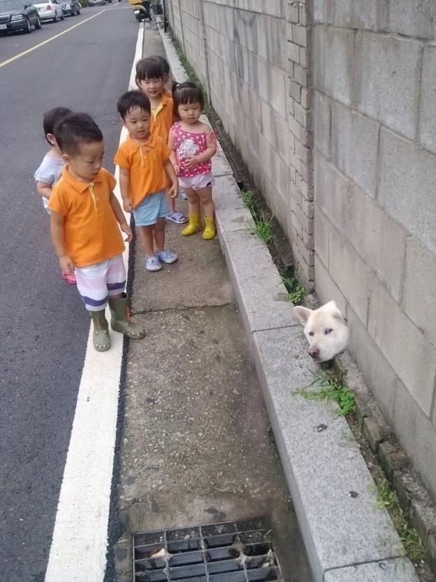 13 tai nạn các em cún Shiba gặp, nhưng rất... hớn hở ảnh 5