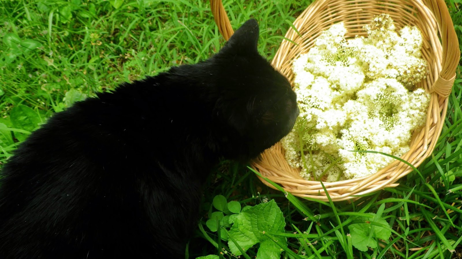 Cat sniffing elder flowers - Laura Perry author editor artist
