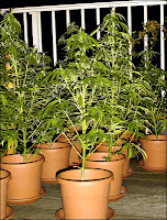 Marijuana plants growing in pots