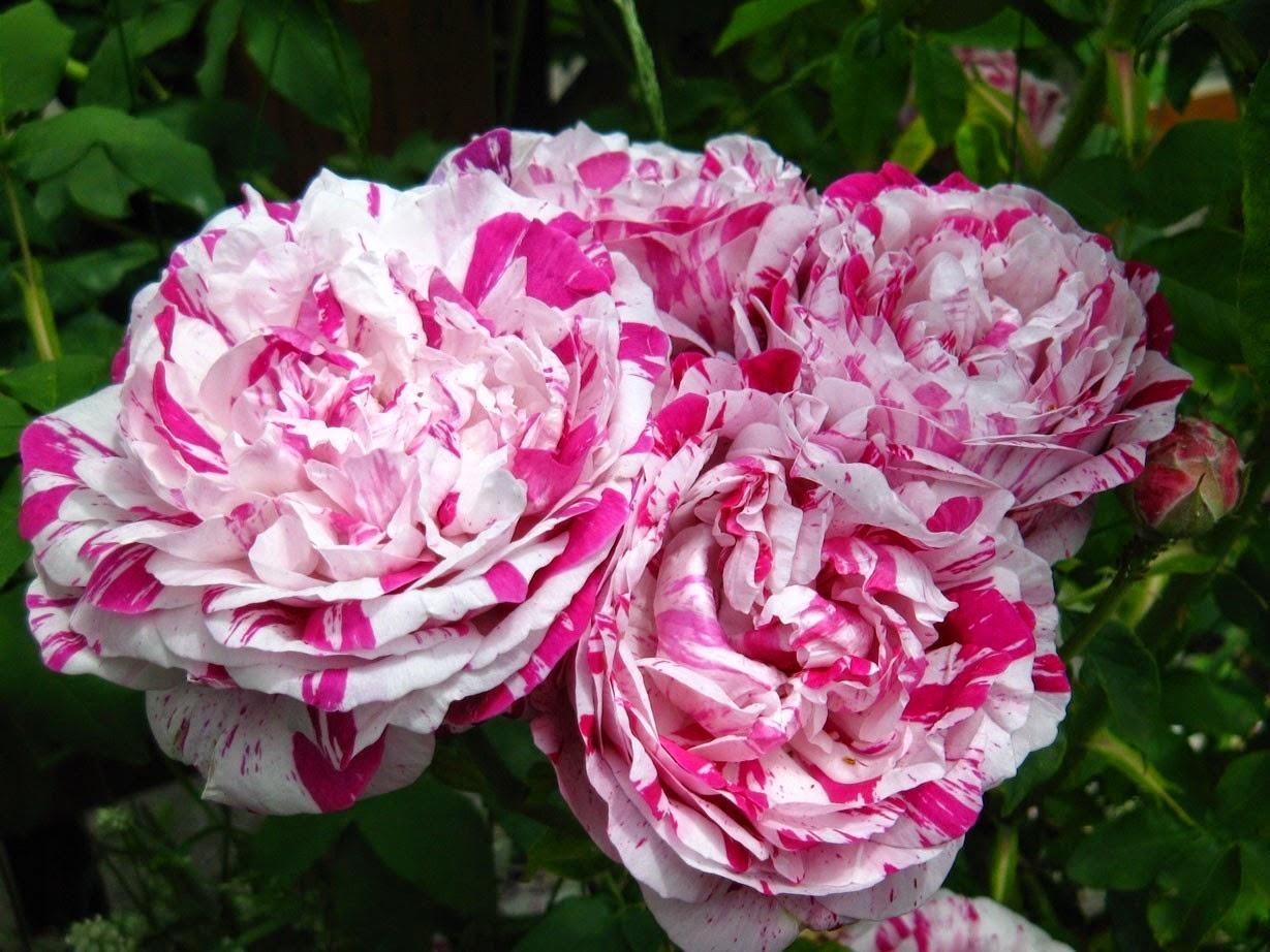 Trandafiri verzi naturali