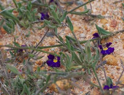 Velvet Fanflower (Scaevola phlebopetala)