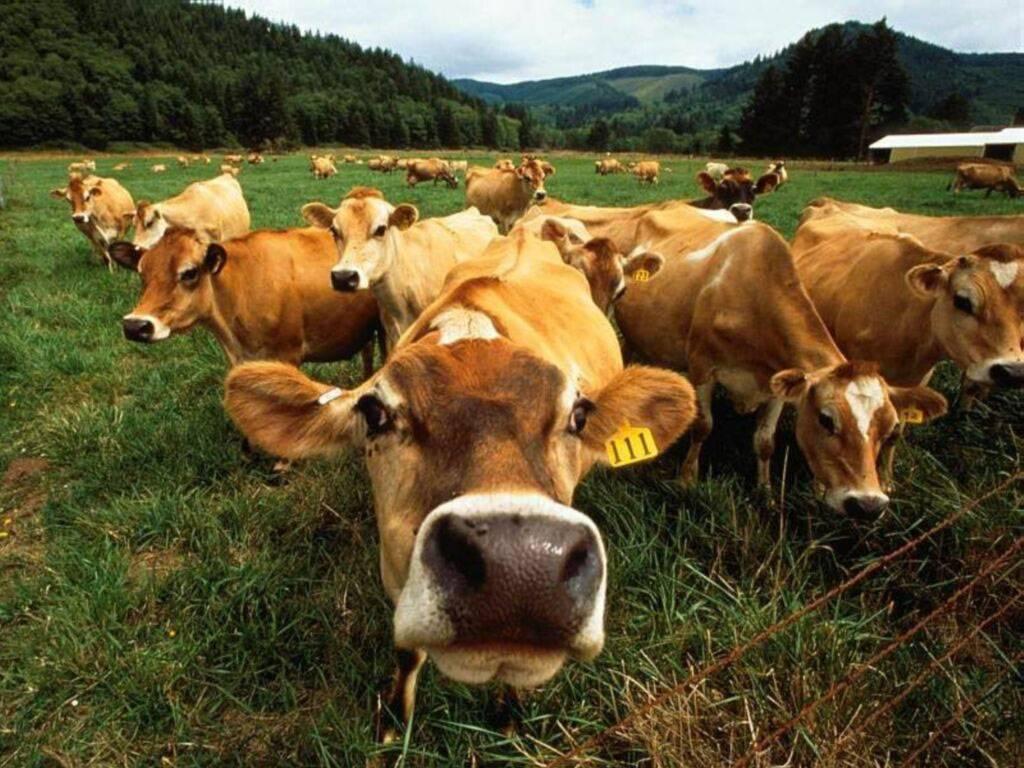 http://4.bp.blogspot.com/-BLJJe16ZBZA/TlgR80UAmWI/AAAAAAAADfc/KGBHv8s5-u8/s1600/Funny+fat+cows+wallpaper+desktop1.jpg