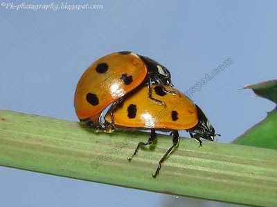 Ladybugs Mating Picture
