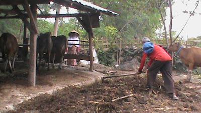 pembersihan kotoran sapi pada areal kandang