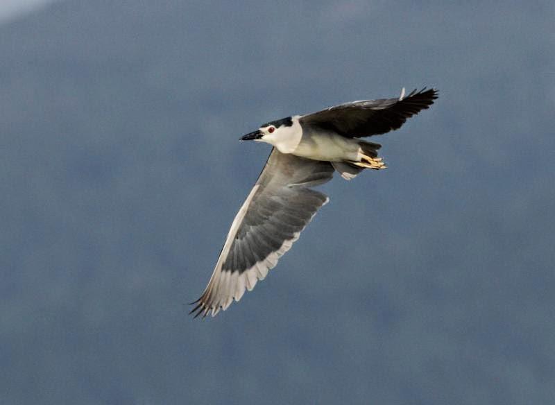 Night Heron photography copyright Iordan Hristov