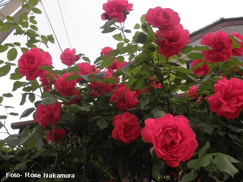 imagens de rosa vermelha