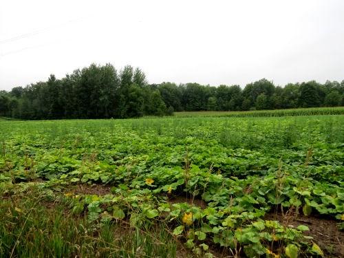 butternut squash field