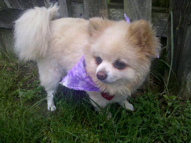Pomeranian Summer Haircut