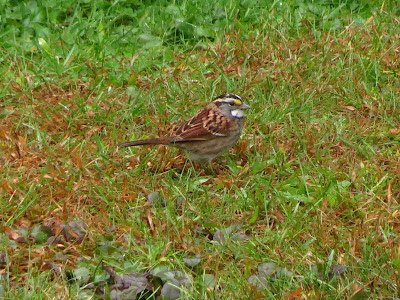 white throated sparrow in the grass