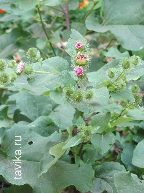 лопух (репейник) с колючими семенами