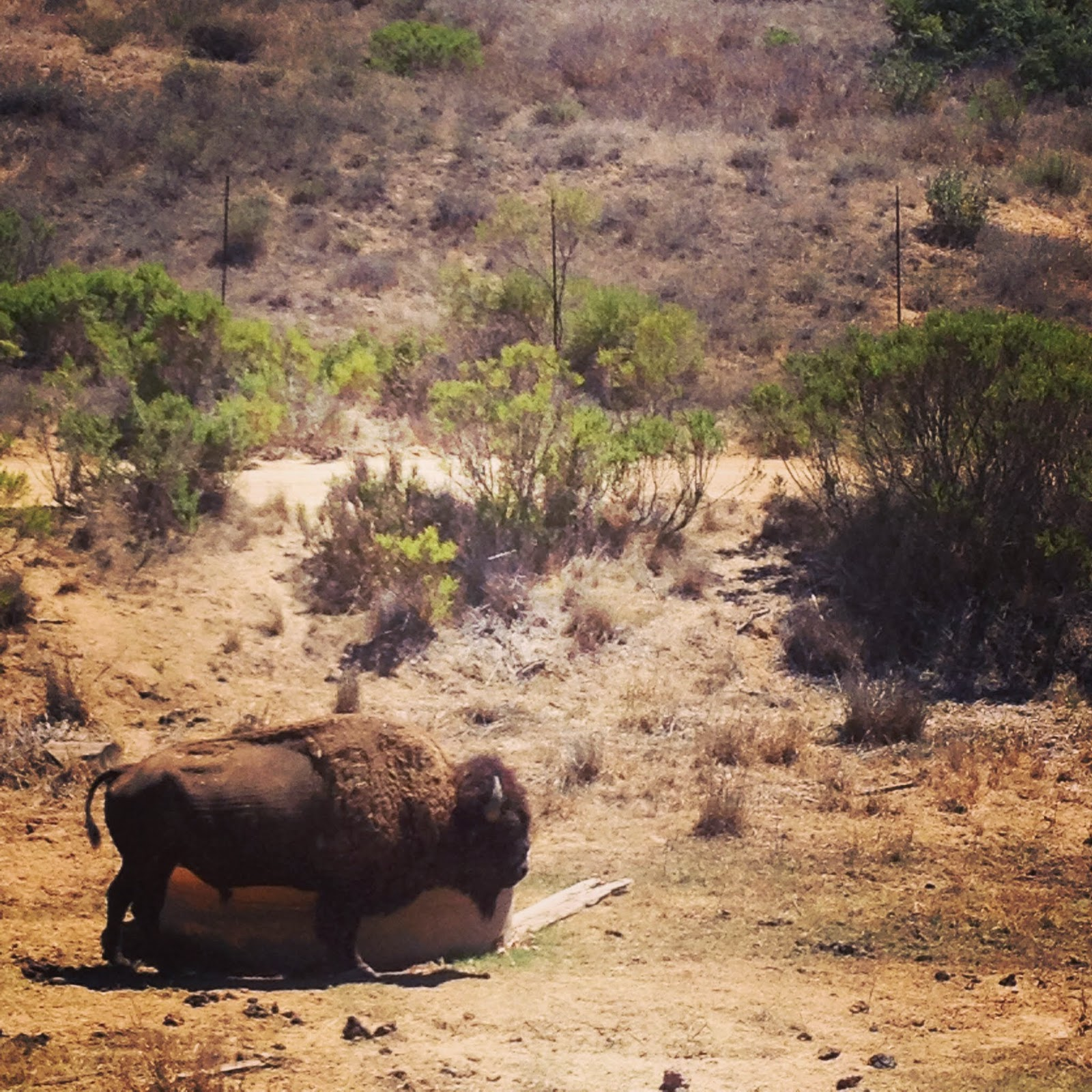 Santa Catalina Island, California, bison