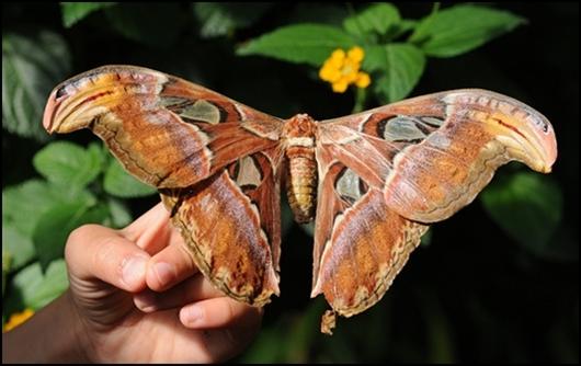 Mariposa-mas-grande-del-mundo