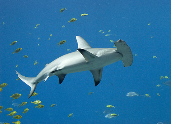 Hammerhead shark baby - photo#26
