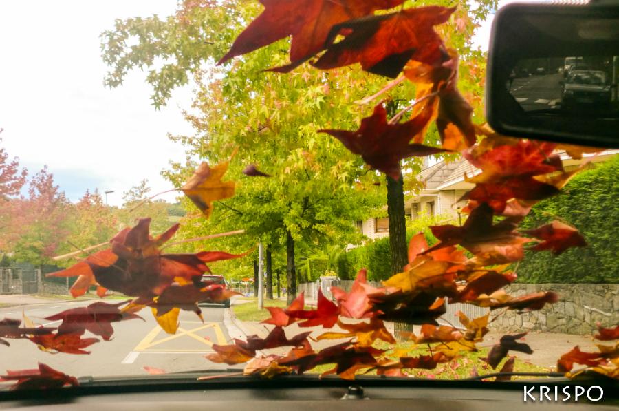 hojas rojas y amarillas caidas sobre parabrisas desde dentro del coche