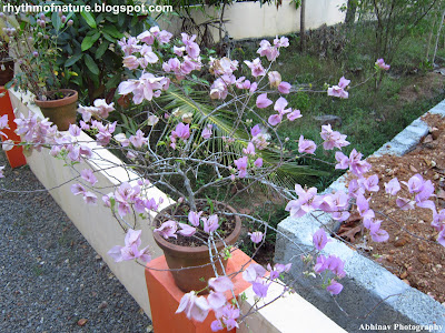 Light Pink Bougainvillea