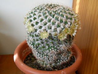 cactus globular mammillaria celsiana