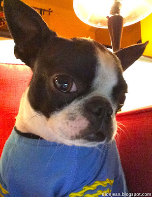 Sinead the Boston terrier in costume