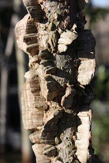 cedar elm bark