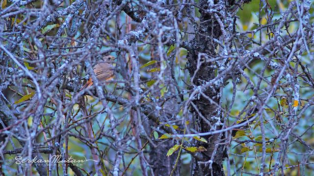Redstart Phoenicurus phoenicurus