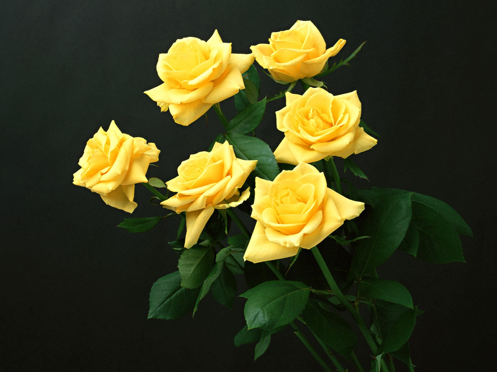 wallpaper of yellow roses - photo #1