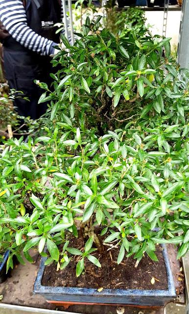 ventilación en los bonsais tropicales y de interior.