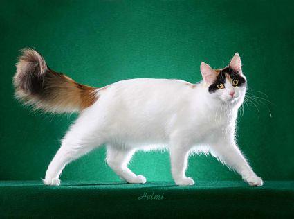 Jenis-Jenis Kucing Tercantik Di Dunia serta Gambarnya