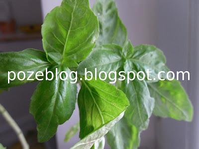 frunzele de busuioc
