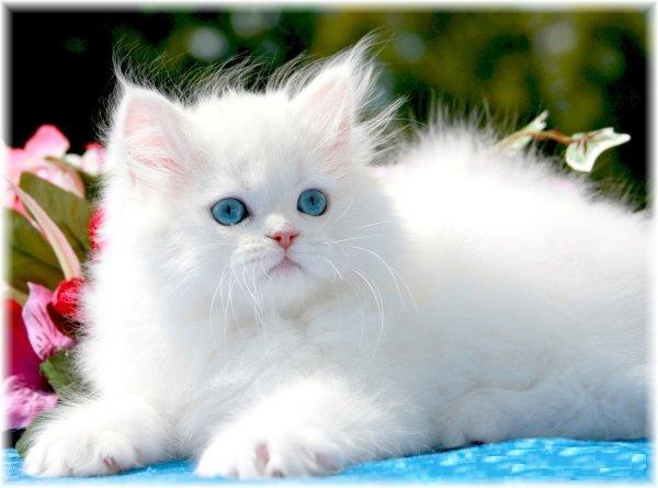 1288218645​_132585868​_1-Picture​s-of--beau​tiful-whit​e-Persian-​kitten-for​-adoption-​1288218645