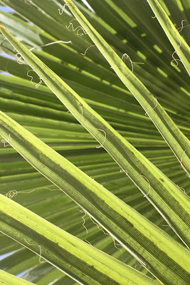 Op Art Palm, Photograph, Sarah Myers, S. Myers, abstract, green, plant, deco, fan, leaves
