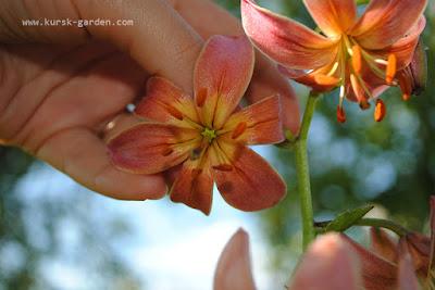 Сеянцы лилий мартагон