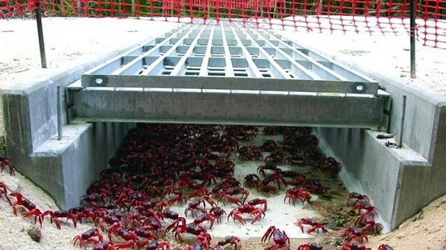 red crab migration 9%5B2%5D هجرة سرطان البحر ، حين تجد مدينتك تكسوها هذه الكائنات ، فيلم رعب على أرض الواقع