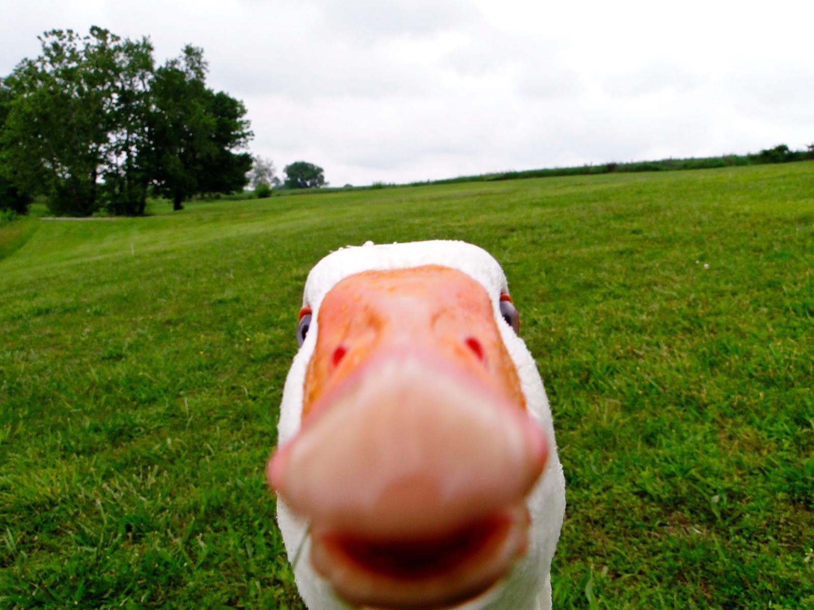 http://4.bp.blogspot.com/-BR9l4WQuVBQ/TrAfgNRwOEI/AAAAAAAAEJg/lDd8B5UufvU/s1600/Funny_Duck_Face_HD_Wallpaper%252BVvallpaper.Net.jpg