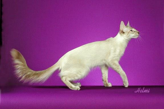 Javanese Cat