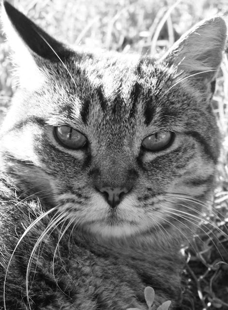 cat, black, white, eyes, animal, photograph, art, arte, whiskers, feline, S. Myers, Sarah Myers