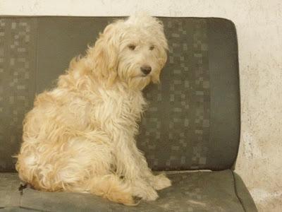 Fotos de cachorros poodles
