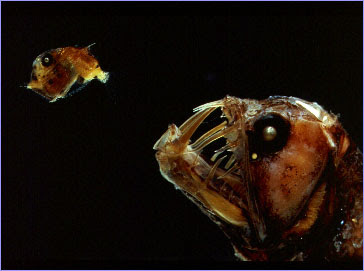 Strangest Marine Sea Creatures Viperfish
