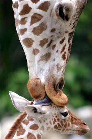 Giraffe | Wild Animal ~ Wild Life