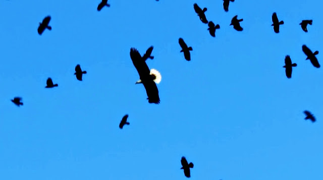 Bald Eagle and American Crows