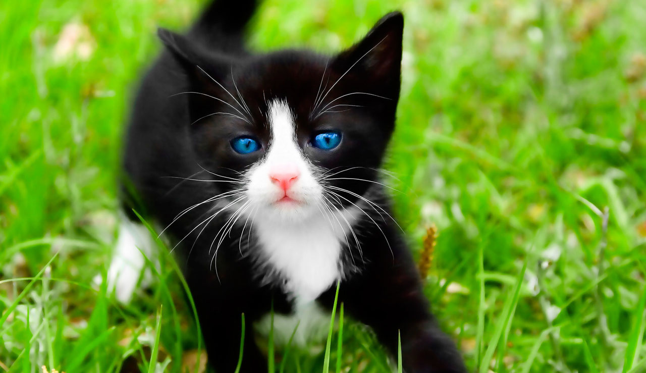 blue eyed black kitten animal photography
