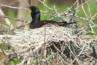 possible hybrid cormorant