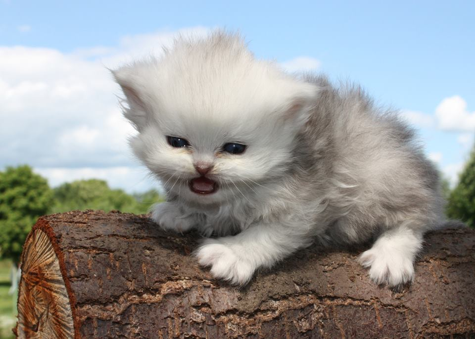 White persian kitty opening her mouth