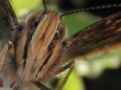 mariposa vulcana
