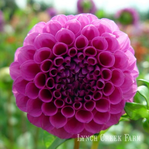 lynch creek dahlias dahlia classification ball and pompon dahlias have that well rounded look. Black Bedroom Furniture Sets. Home Design Ideas