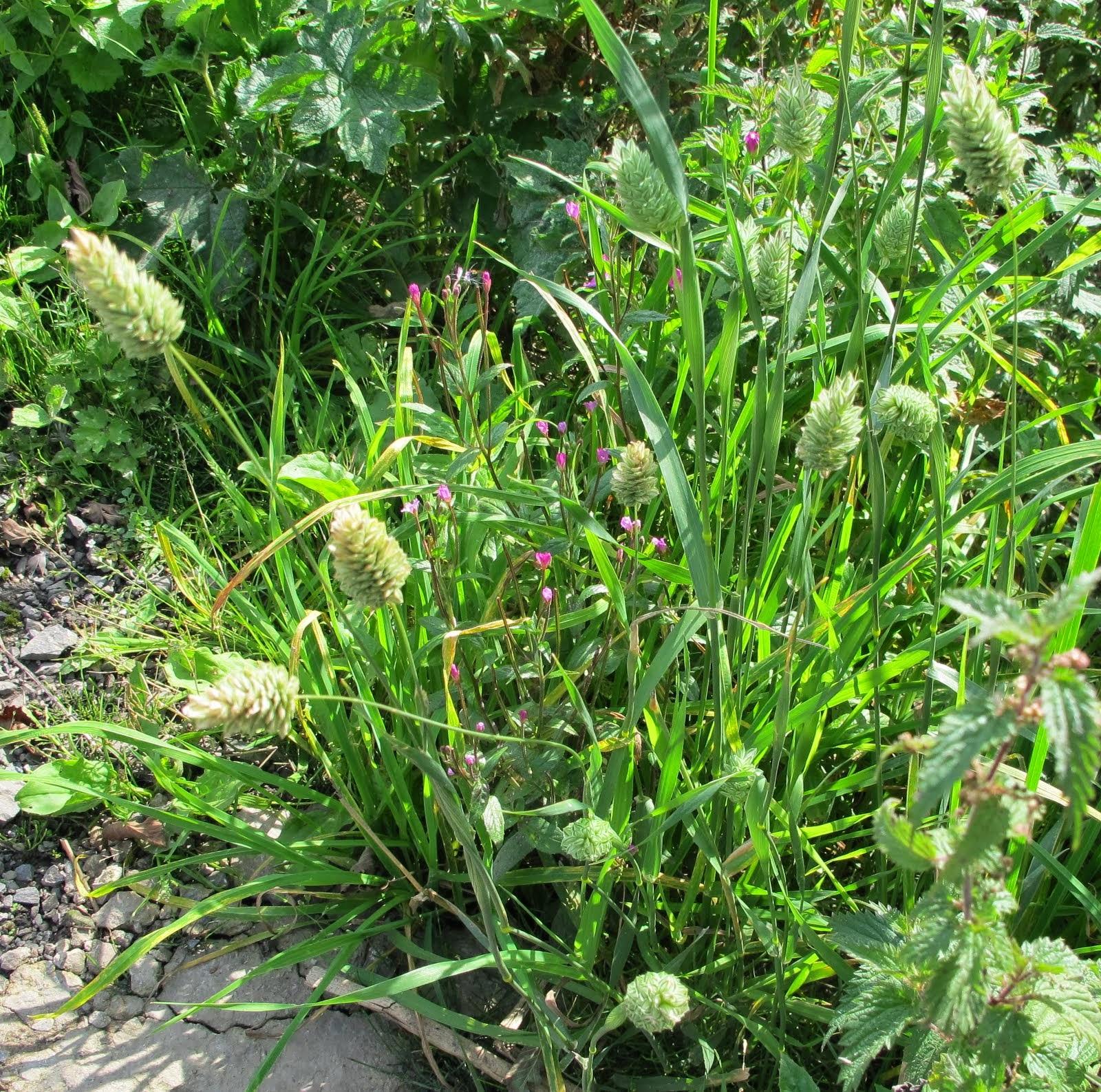 Phalaris Canariensis Calderdale Wild...