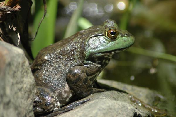 Missouri outdoors frog days of summer begin at sunset for Missouri fishing license age