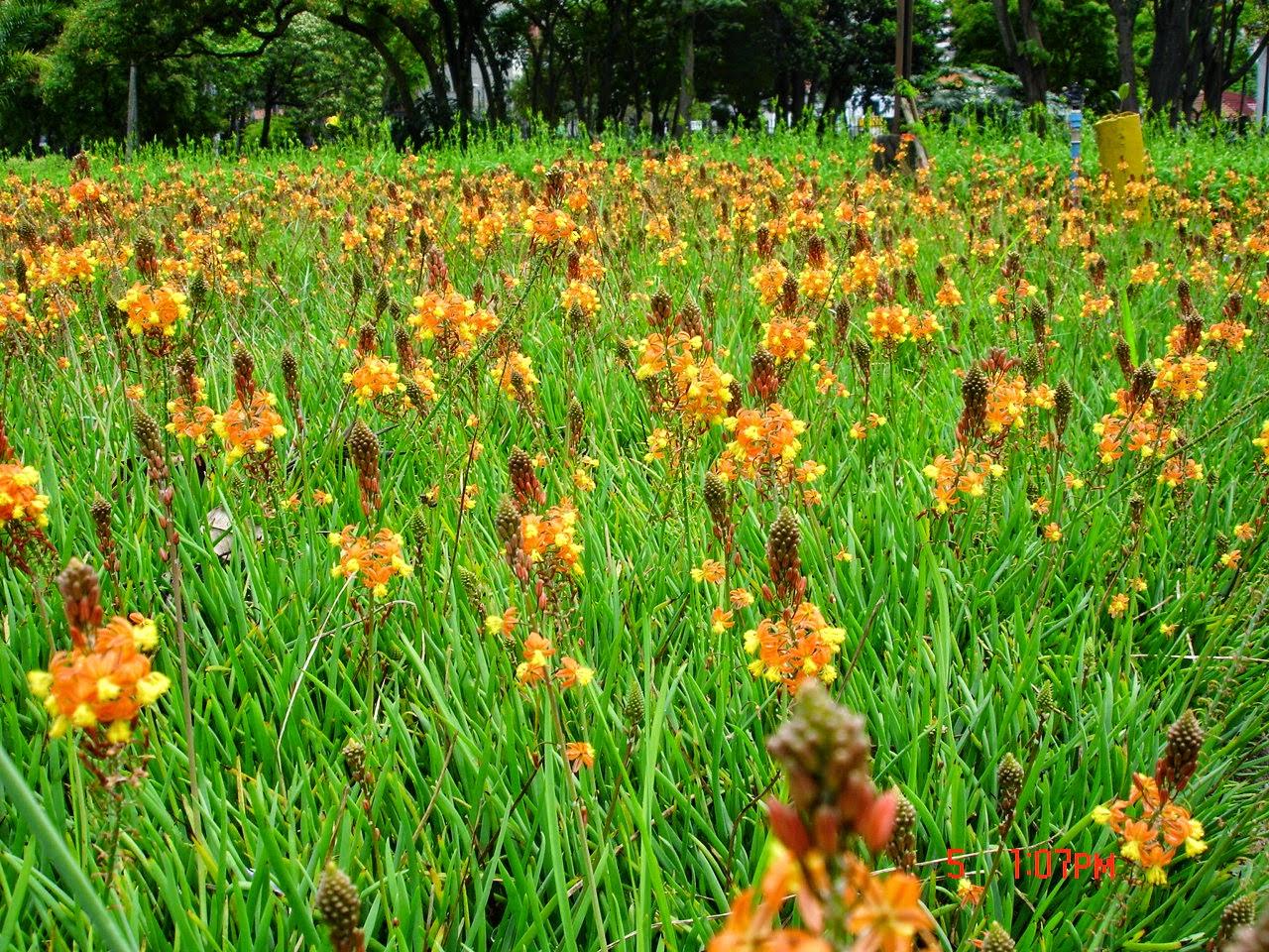 flor de jardim amarela: cantinho verde: BULBINE, CEBOLINHA-DE-JARDIM – ( Bulbine frutescens