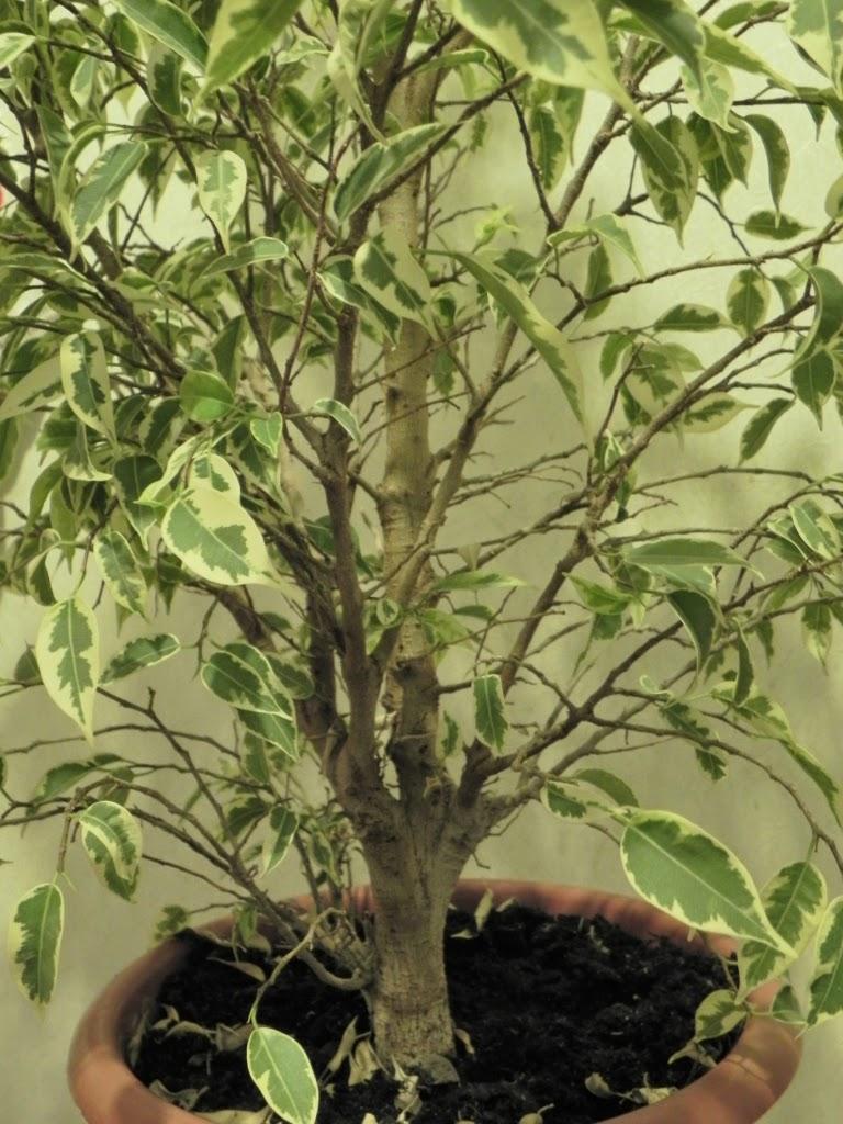 Выращивание фикуса пестролистного 46