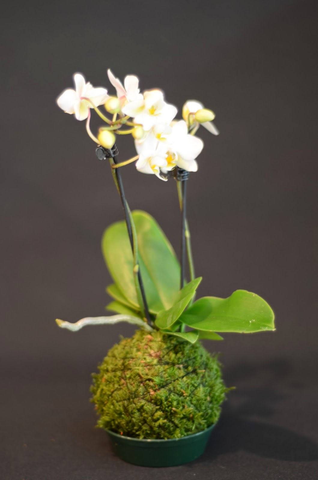 kokedama et petit bonsai 07 2014. Black Bedroom Furniture Sets. Home Design Ideas